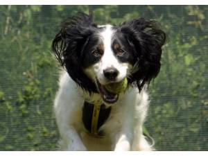 Zebedee - Male Spaniel Cross Photo