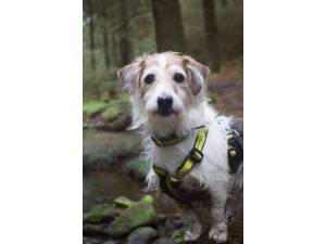Dexter - Male Jack Russell Terrier (JRT) Photo