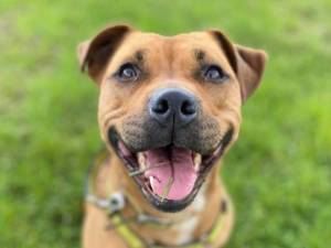 Layla - Female Staffordshire Cross (SBT) Photo