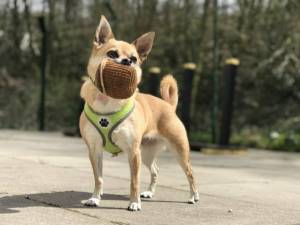Poppet - Female Chihuahua: Short Hr Photo
