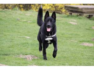 Ronan - Male German Shepherd Dog (GSD / Alsatian) Photo