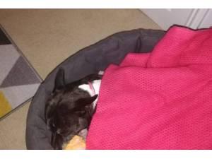 Suzy - Female Terrier (Staffordshire Bull) Photo