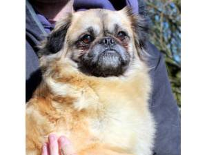 Jenny - Female Pug Cross Photo
