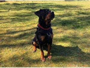 TEDDY - Rottweiler
