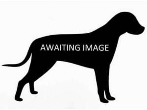 BRUCE - Bull Terrier Photo