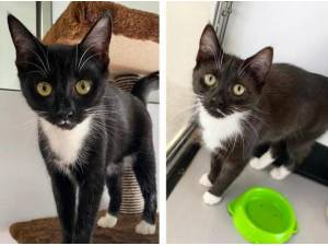 SADIE AND SARAH - Domestic Shorthair