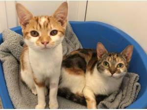 BERRY AND SNIFFLES - Domestic Shorthair  crossbreed Photo