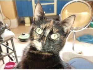 NOVA - Domestic Shorthair  crossbreed Photo