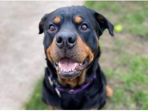 ENZO - Rottweiler Photo