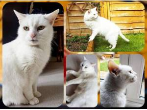 WILLOW - Domestic Shorthair  crossbreed Photo