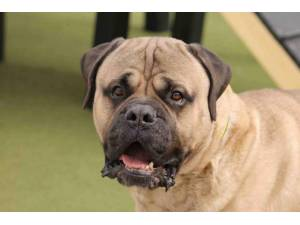 Cooper - Male Mastiff: Old English Photo