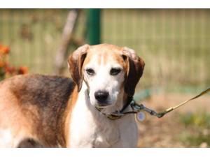 Dordle - Male Beagle Photo