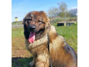 Freya - Female Caucasian Shepherd Dog Photo