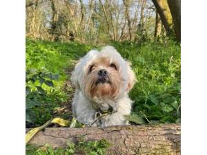 Harvey - Male Lhasa Apso Photo