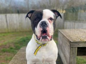 Mouse - Male American Bulldog Photo