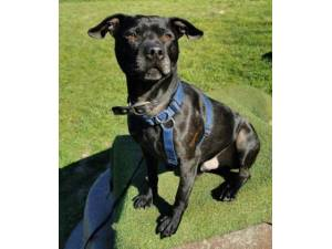 Mr Reg - Male Staffordshire Bull Terrier Cross Photo