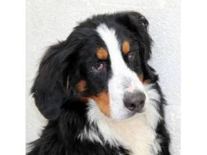 Gamble - Male Bernese Mountain Dog Photo