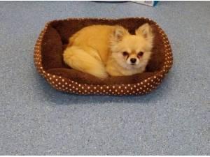 GUS - Chihuahua (Long coat) Photo