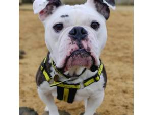 Buddy - Male Bulldog: English Photo