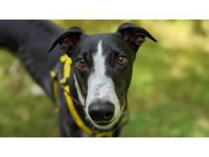 Denny - Male Greyhound Photo