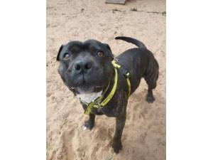Hoggle - Male Staffordshire Bull Terrier (SBT) Photo