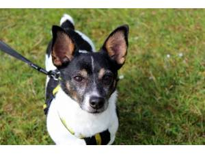 Milo - Male Jack Russell Terrier (JRT) Photo