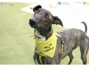 Rocco - Male Greyhound Photo