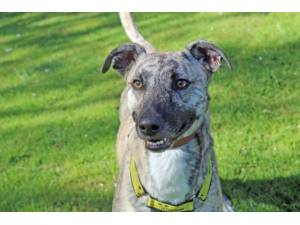 Tigger - Male Lurcher Photo