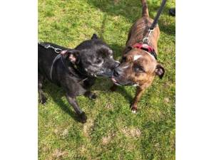 Sid & Lulu - Staffordshire Bull Terrier Photo