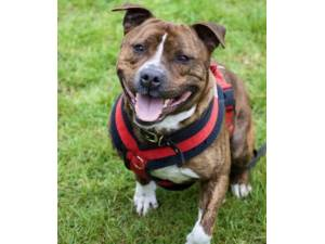 Razzy - Male Staffordshire Bull Terrier Photo