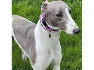 Della - Greyhound Photo