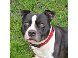 Diesel - Staffordshire Bull Terrier Photo