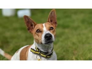 Alfie - Male Jack Russell Terrier (JRT) Photo