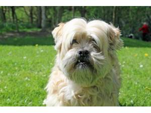 Baby Jane - Female Lhasa Apso Photo