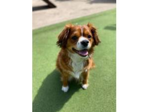 Bailey - Male Spaniel: Cavalier King Charles Photo
