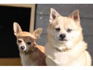 Bentley - Male Chihuahua: Short Hr Photo
