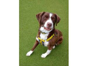 Bouncer - Male Spaniel Cross Photo