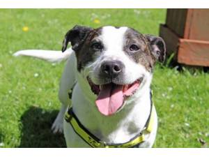 Charlie - Male Staffordshire Cross (SBT) Photo