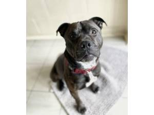 Chubbs - Male Staffordshire Bull Terrier (SBT) Photo