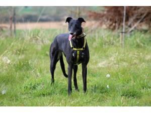 Dory - Female Greyhound Photo