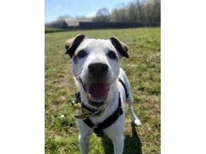 Finn - Male Terrier Cross Photo