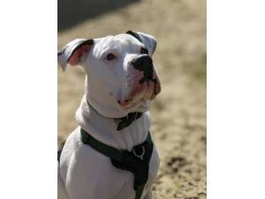 Frankie - Male American Bulldog Photo