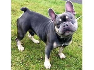 Hugo - Male Bulldog: French Photo