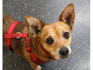 Jessie - Female Jack Russell Terrier (JRT) Photo