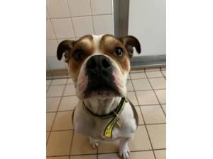 Keno - Male Bulldog: English Photo