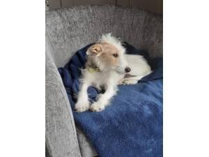Lilah - Female Jack Russell Terrier (JRT) Photo