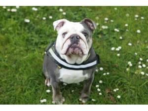 Olivia - Female Bulldog: English Photo