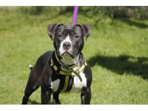 Pablo - Male American Bulldog Photo