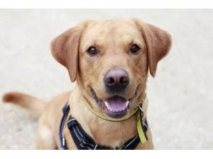 Ricky - Male Labrador Photo