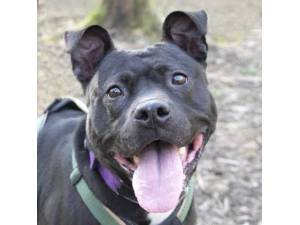 Shakira - Female Staffordshire Cross (SBT) Photo